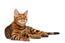 Bengal Cat Lies On White And L...