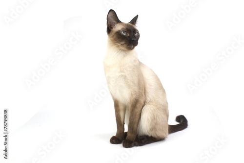 Fotografía  Thai cat, traditional siamese cat on white backrgound