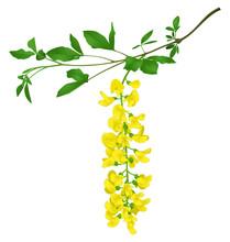 Green Branch Of Yellow Acacia ...