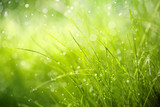 Fototapeta  - Morning dew on spring grass