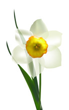 Single White Isolated Narcissus Flower