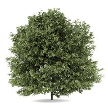 Common Hazel Tree Isolated On ...