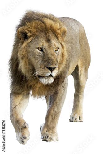 Fotobehang Leeuw Wild free roaming male lion against white background