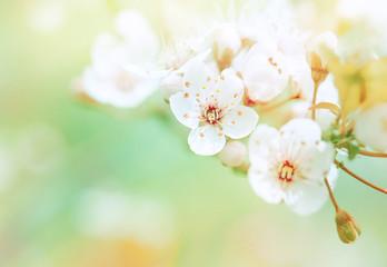 Fototapeta Optyczne powiększenie Beautiful spring blooming