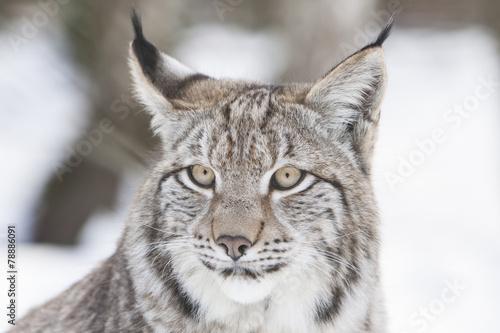Foto op Plexiglas Lynx lynx head