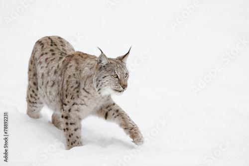 Foto auf Leinwand Luchs Lynx Wild Cat