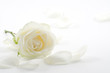canvas print picture - White rose with petals close-up