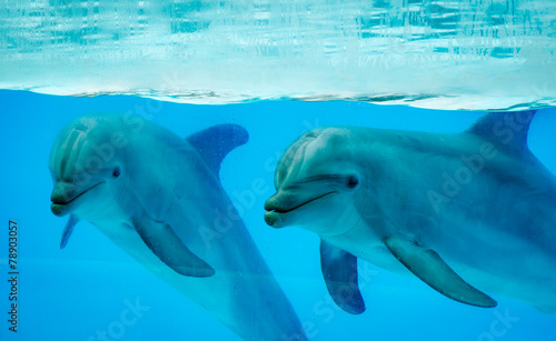 Fototapety, obrazy: Couple dolphins in a pool