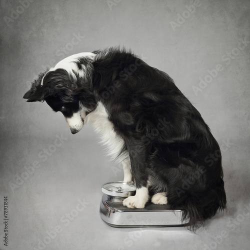 Foto  Chien Border-Collie se pesant