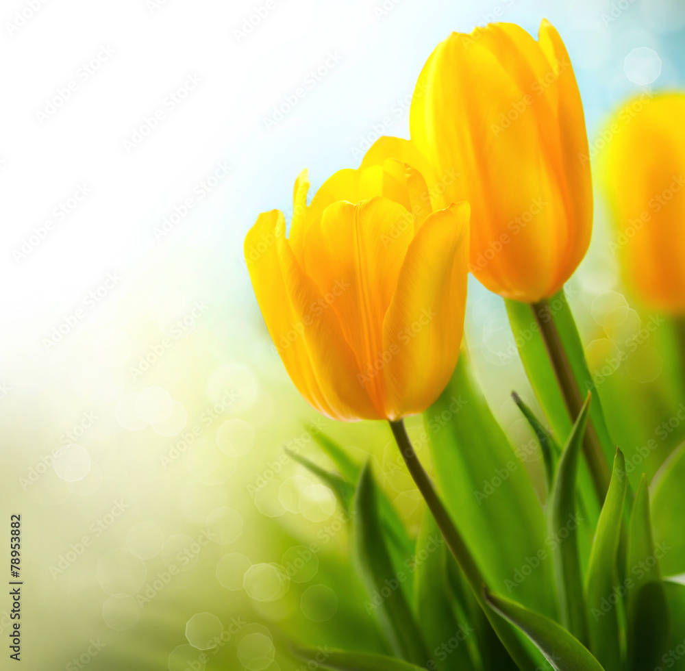 Fototapety, obrazy: Spring tulip flowers growing. Beautiful yellow tulips closeup