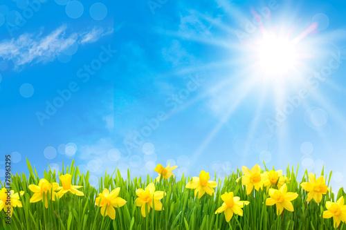 Staande foto Lente Daffodils against blue sky