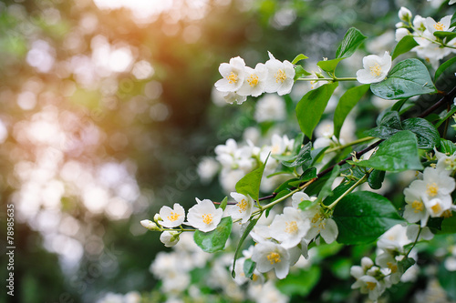 Canvas Print jasmine spring flowers with raindrops