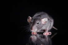 Brown  Domestic Rat On A Black...