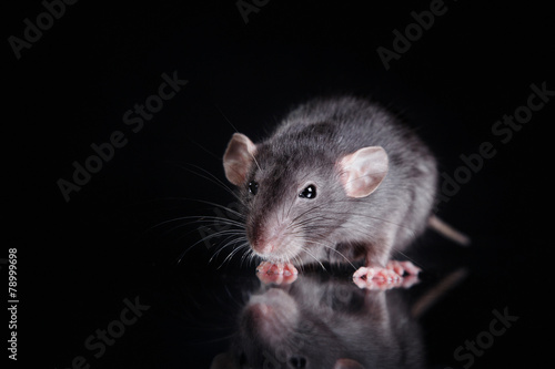 brown  domestic rat on a black background Canvas
