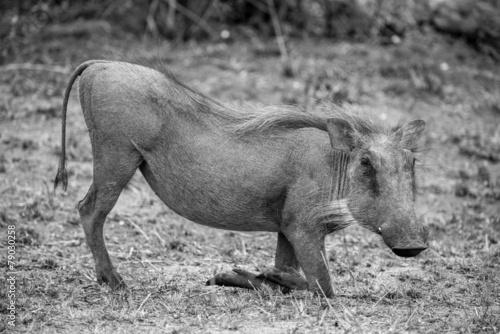 Photo  Grazing Warthog