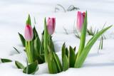 Fototapeta Tulipany - snowdrops tulip flowers in the snow Thaw