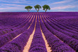 Lavender field Summer sunset landscape with tree
