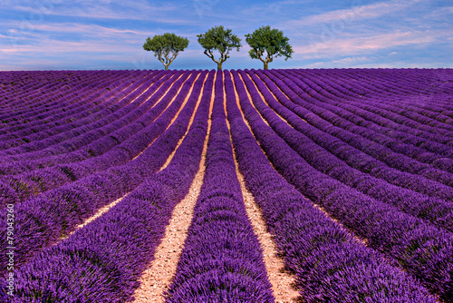 Poster Violet Lavender field Summer sunset landscape with tree