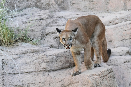 In de dag Puma Mountain Lion (Puma concolor)