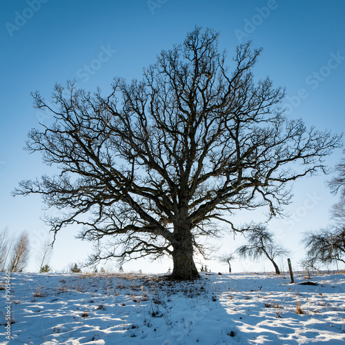 old oak tree in winter