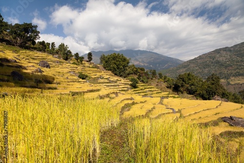 Poster Rijstvelden golden rice field in Nepal