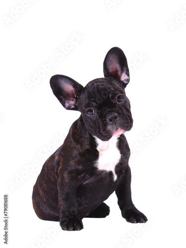 Deurstickers Franse bulldog French Bulldog puppy (3 months old) - Stock Image