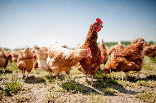 Photo sur Aluminium Poules chicken on traditional free range poultry