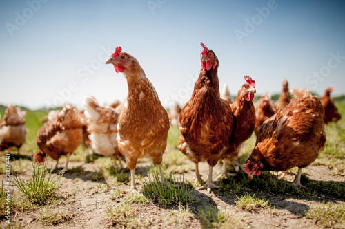 Photo sur Toile Poules chicken on traditional free range poultry