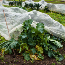 Vegetable Garden Radish
