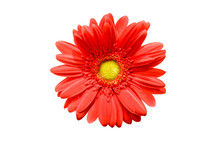 Close Up Of A Red Gerbera Daisy Flower