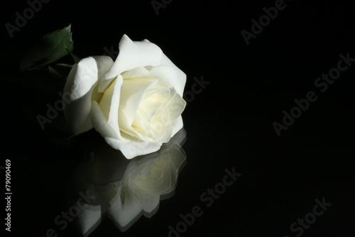white rose on black background Fototapeta
