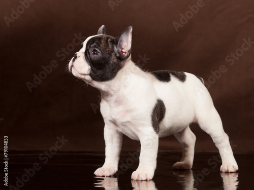 Staande foto Franse bulldog French Bulldog puppy (3 months old) - Stock Image