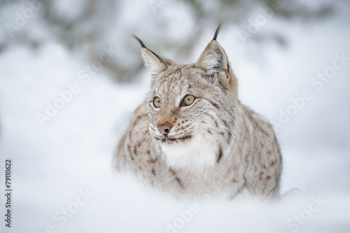 Photo sur Toile Lynx Lynx in snow