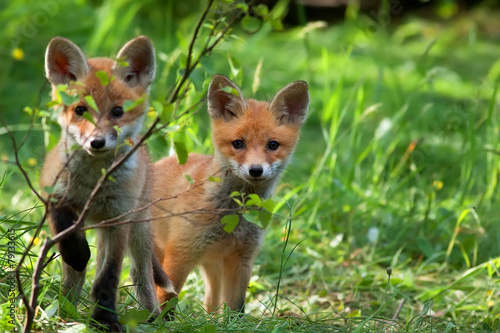 Fotografia Foxes in the wild