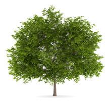 Maidenhair Tree Isolated On White Background