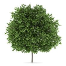 Common Walnut Tree Isolated On White Background