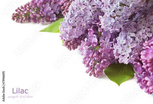 Tuinposter Lilac Lilac flowers bunch isolated on white