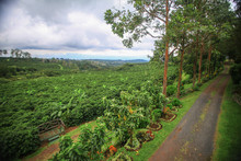 Coffee Bean Plant Cultivation In Costa Rica