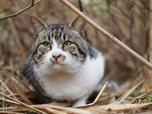 Fotografia, Obraz  茂みの猫