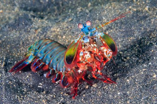 Fotografie, Obraz  Peacock Mantis Shrimp
