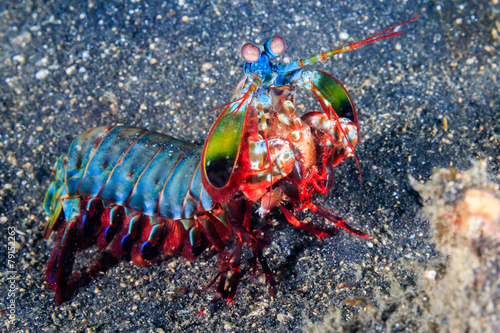 Peacock Mantis Shrimp Canvas Print
