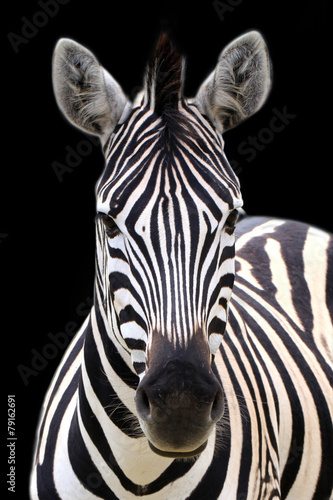 Poster Zebra Zebra isolated on black