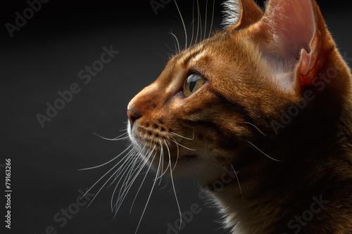 Keuken foto achterwand Kat closeup bengal cat profile view