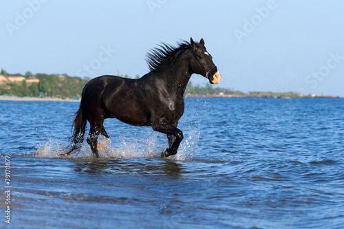 Black horse run in sea Canvas