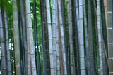 Szare bambusy