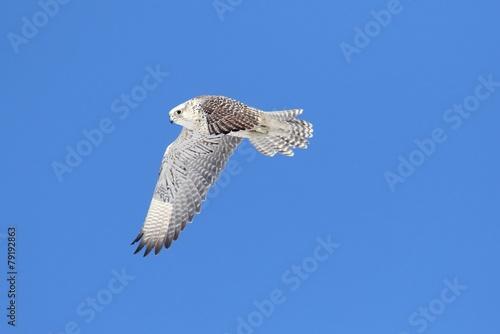 Sticker - Rare (Gyrfalcon Falco rusticolus)