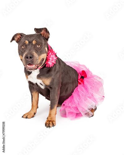 Fotografie, Obraz  Pretty Pit Bull Wearing Pink Tutu