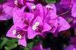 canvas print picture - Pink bougainvillea flower