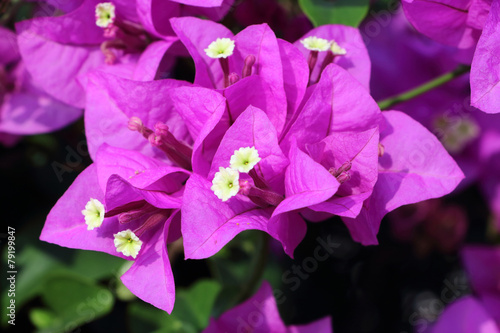 Tela Pink bougainvillea flower