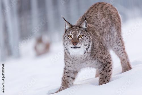 Foto auf Leinwand Luchs Eurasian Lynx in snowy Lapland scene